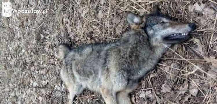 Znamy przyczynę śmierci wilka z okolic Wodzisławia